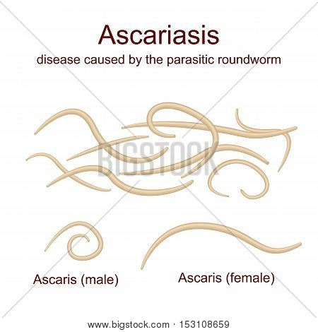 Illustration Ascaris - roundworms, parasites, male and female