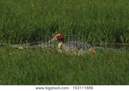 Greater Noida, Uttar Pradesh, India- September 7, 2013: Indian Female Crane, Grus Antigone (Linnaeus) with her chick at Greater Noida wetland area, Uttar Pradesh, India.
