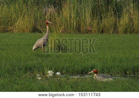 Greater Noida, Uttar Pradesh, India- September 7, 2013: Indian Female Crane, Grus Antigone (Linnaeus) sitting on her eggs while male guarding nest at Greater Noida wetland area, Uttar Pradesh, India.