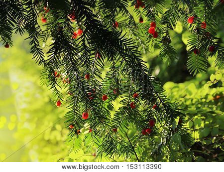 Red berries growing on evergreen yew tree in sunlight European yew (taxus baccata) tree poster