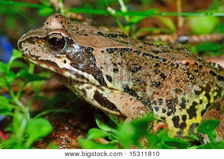 A Frog In Green Grass
