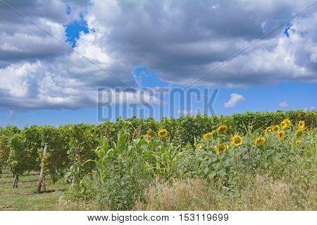 Vineyard Landscape in Wine region of Rheinhessen,Rhineland-Palatinate,Germany