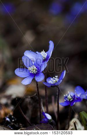 some blue anemones, liverleaf or hepatica nobili