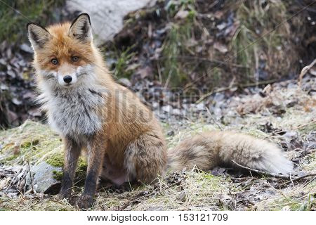 a european red fox begging for treats