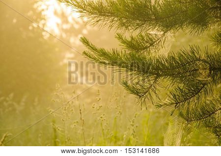 thick morning mist in coniferous forest. pine needles in a thick morning fog. thick fog covered with thick coniferous forest. forest with a bird's eye view .