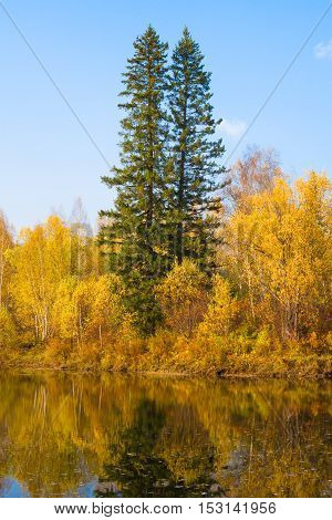 Two tall fir trees in autumn forest on the lake