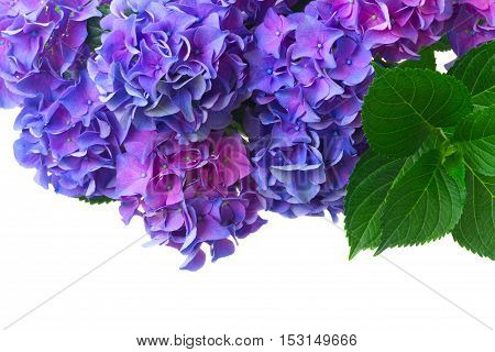 dark blue blue and violet fresh hortensia blooming flowers with green leaves isolated on white background