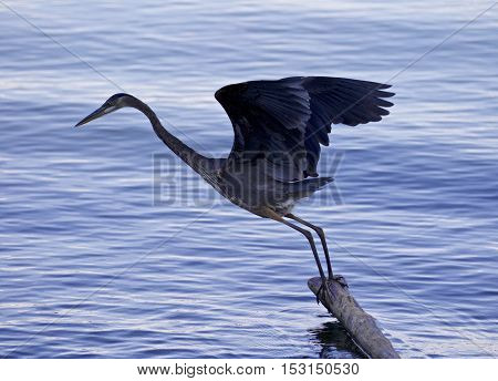 Beautiful Photo With A Great Blue Heron Jumping