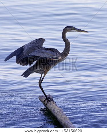 Beautiful photo of a great blue heron standing on a log in the lake