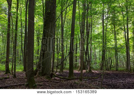 Primeval deciduous stand of Bialowieza Forest in summer with old trees and lush foliage, Bialowieza Forest, Poland, Europe