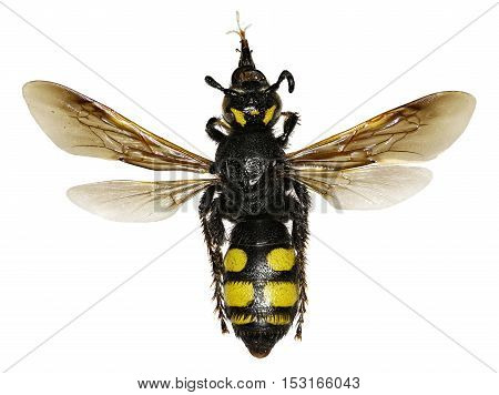 Mammoth Wasp on white Background - Colpa sexmaculata (Fabricius 1781)