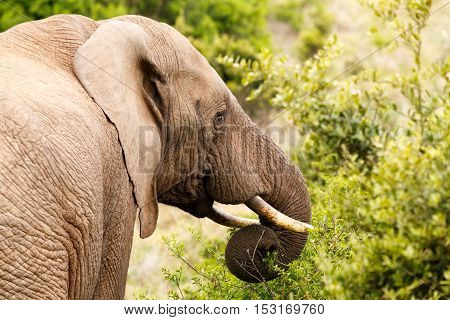 Elephant With Curled Up Trunk
