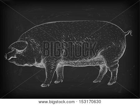 Pig swine hog sow piggy piglet piggie pigling brawn boar grown big eco farm animal snout. Vector square beautiful closeup profile side view white chalk outline illustration on black board background