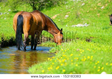 horse drinking from pond in summer time
