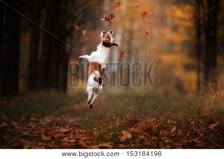 Dog Jack Russell Terrier jump over the leaves autumn mood