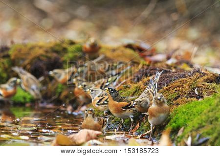 Flock of bramblings drink water, birds drink water puddle autumn, fallen leaves, colorful leaves, bird migration