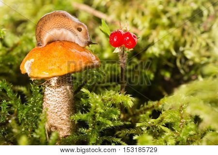Slug on a hat of a mushroom and red berry nearby. The slug on an orange hat of a mushroom of the aspen mushroom standing in a green moss looks at red berries. Close up small depth of sharpness