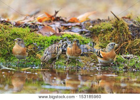 bramblings drink water in autumn puddle, birds drink water puddle autumn, fallen leaves, colorful leaves, bird migration