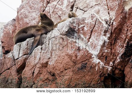 Colony Of South American Sea Lion - Ballestas Island