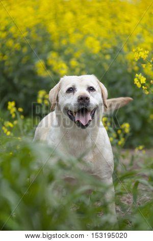 white labrador puppy sitting on green grass