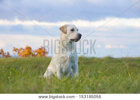 labrador retriever dog on the nature background