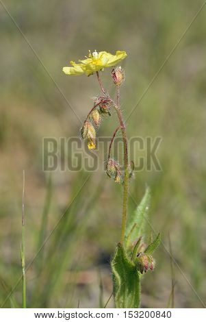 Spotted Rock-rose - Tuberaria guttata Unspotted form