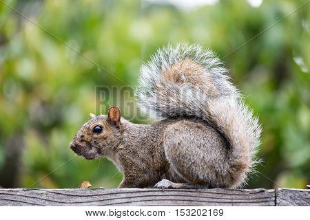 Eastern Gray Squirrel (sciurus carolinensis) sitting on a backyard fence.