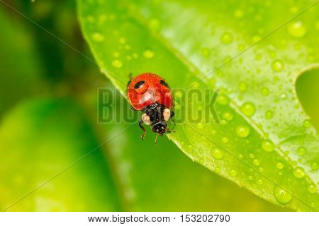 Close-up ladybug on a green leaf in the grass . Water drops