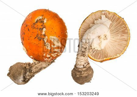 Amanita muscaria mushroom isolated. Amanita view from above and from below