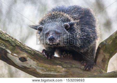 Binturong Or Bearcat On A Tree