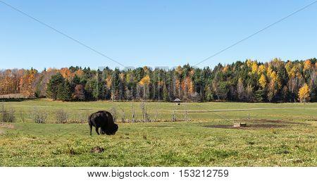 A lone American Field Buffalo in a forest field