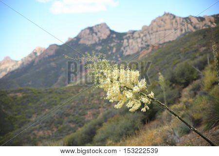 Flower in focus with Sandstone Peak in the Santa Monica Mountains in California.