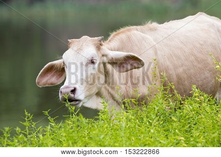 Image of a cow on nature background.