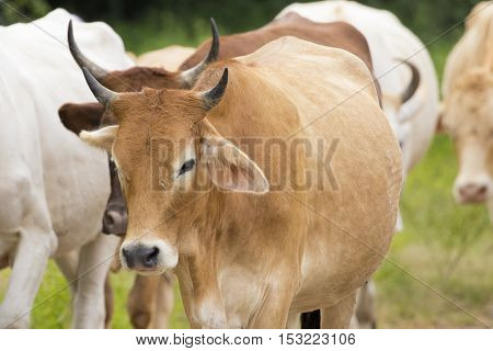 Image of brown cow on nature background.