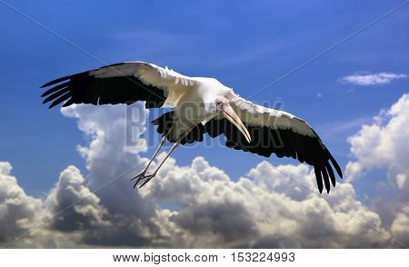 Mycteria bird flying with open wings under blue cloudy sky