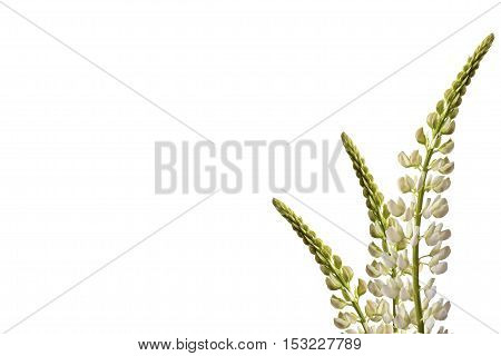 lupines beautiful flowers on a white background