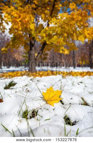 Yellow Maple Leaf In Snowy Park