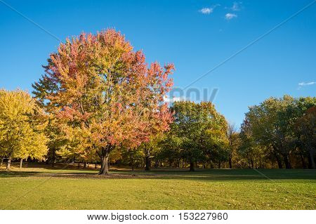 Maple tree in autumn colors on Mount-Royal in Montreal Canada.
