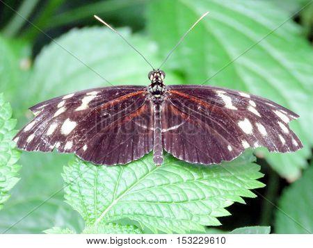 The Hecale Longwing Butterfly in garden of Niagara Falls Canada July 16 2016
