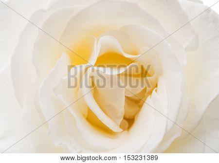 beautiful white rose flower close up image