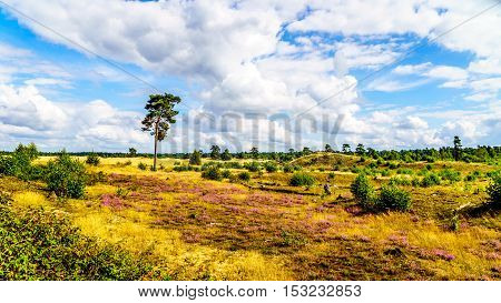 Purple blooming calluna heather fields along the mini desert of Beekhuizerzand in the Veluwe area of the Netherlands.