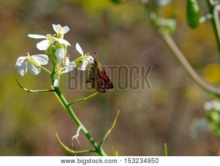 A small butterfly(Brown Skipper) perches on a white flower to feed. Nice bokeh in background.