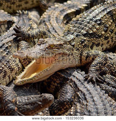 Freshwater Crocodile, Siamese Crocodile (crocodylus Siamensis)