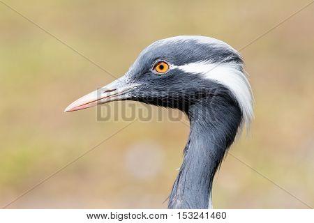 Bird Demoiselle Crane (anthropoides Virgo)