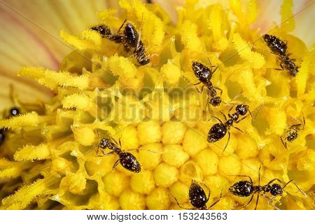 many ant workers on yellow flower. close