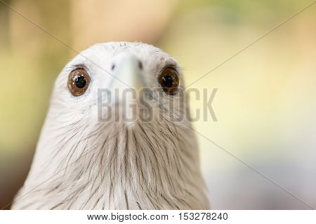 Close-up frontal portrait of a brahminy kite (Haliastur indus). Birding and falconry concept.