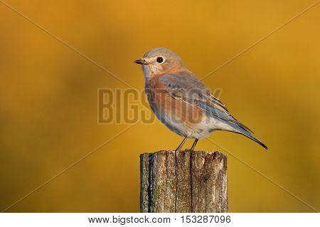 A female eastern bluebird perching on a post in Fall.