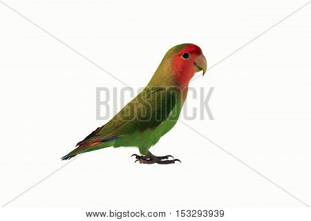 green parrot lovebird on a white background
