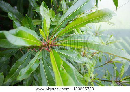 Green Leaves Suicide tree Pong-pong Othalanga at Suanluang RAMA IX