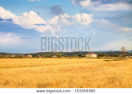 Tuscan countryside with cornfield in the foreground (Italy)